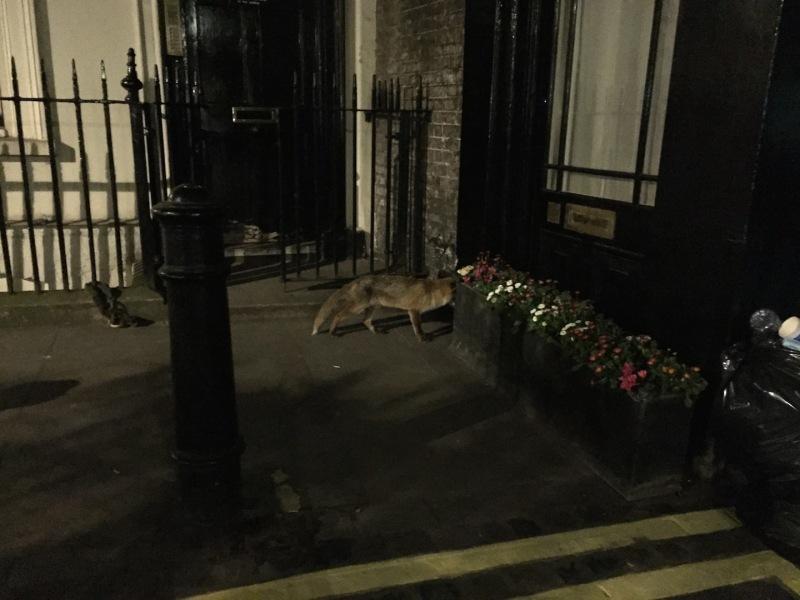 London fox, photo courtesy of Nato Thompson